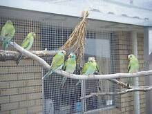 2 pair of Golden shouldered parrots ! Dianella Stirling Area Preview