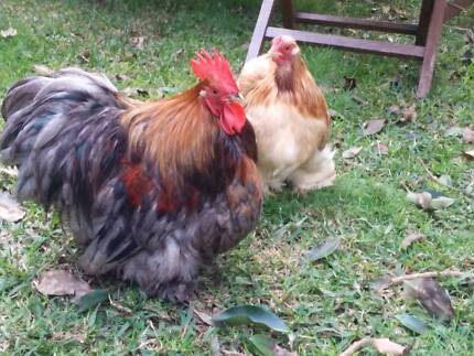 Pekin Bantam Chickens - Blue Red Pair Epping Ryde Area Preview