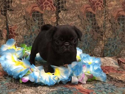 Stunning pure bred pug puppy last one