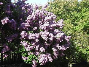 Branched Lilac Tree 40-60cm Tall Shrub, Fragant Purple Flowers, Syringa Vulgaris