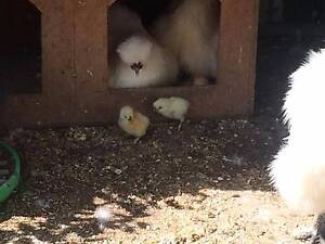 Silkie Chickens Broadford Mitchell Area Preview