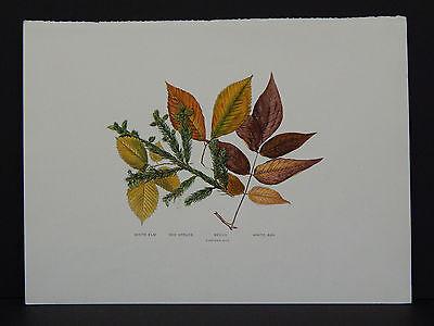 Leaves, Trees, White Elm Red Spruce Beech White Ash #07 c.1910