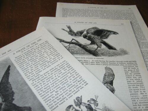 1886 Art Print ENGRAVING / Article - FALCONRY HAWKING Sparrow Hawk Falcon Bird