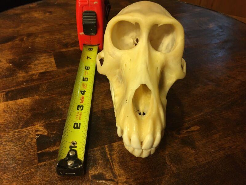 Large Real Female Yellow Baboon Monkey Skull