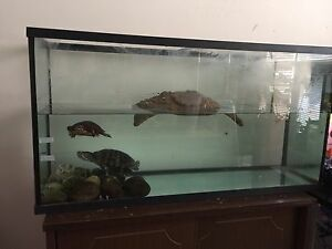 Large Red Ear Turtle and 29 Gallon Tank