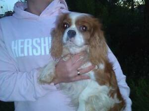Gorgeous Purebred Cavalier King Charles Spaniels Berri Berri Area Preview