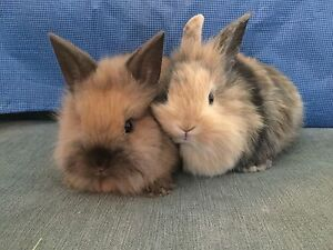 Tiny, cuddly and adorable baby Mini Lionhead bunnies!