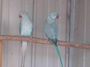 Blue Indian Ringneck Parrots..Mating Pair Axedale Bendigo Surrounds Preview