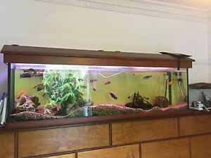Fish tank aquarium ciclid cuckoo catfish Maryville Newcastle Area Preview
