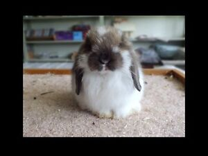 BABY HOLLAND LOP BUNNIES AVAILABLE NOW
