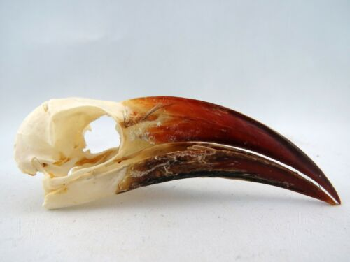 Red-billed Hornbill (Tockus erythrorhynchus) Bird Skull RBH11906