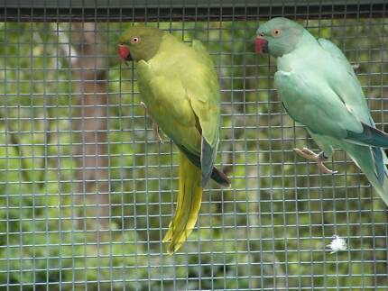 INDIAN RINGNECKS - RARE OPALINE PAIRS . - CONSIDER SWAPPING