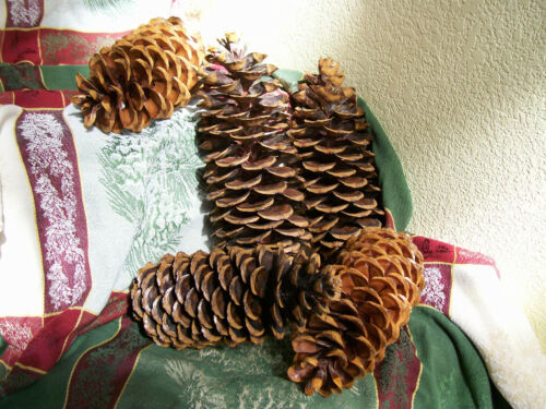 """Gorgeous Natural Giant Oregon Sugar Pine Cones ~ 2020 Harvest ~ 13"""" to 16"""" Long"""