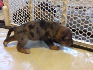 Catahoula Red Tick Hound Cross Puppies