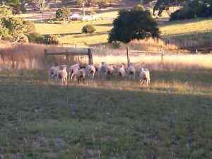 Lambs for sale Macclesfield Mount Barker Area Preview