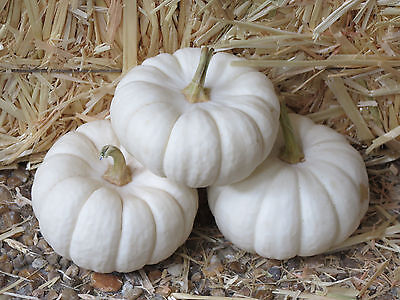 Boo Pumpkin (15 WHITE BABY BOO MINI PUMPKIN Miniature Cucurbita Pepo Vegetable Seeds Comb)