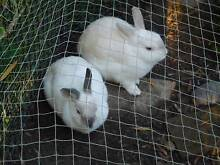 2 Healthy Netherland Dwarf Rabbits with Hutch & Pen for Sale Blue Knob Lismore Area Preview