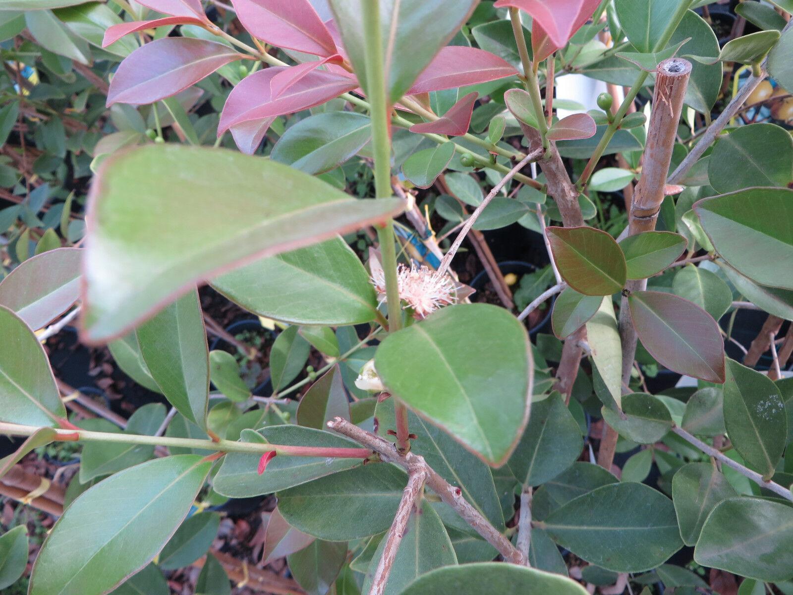 guavenbaum gelbe guave gialla selbstbefruchtend psidium guajava ca 160 180 cm eur 29 90. Black Bedroom Furniture Sets. Home Design Ideas