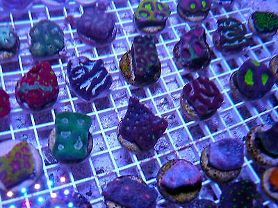Live Coral 9 for $99 LPS Frag Pack! ! Acan Favia Chalice etc. REEF ADDCITED