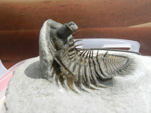 Erbenochile erbeni,sp semi-free Trilobite, Morocco - Beautiful