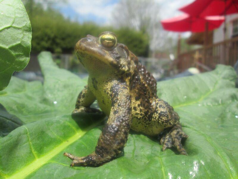 20+ Live Tadpoles - Toads