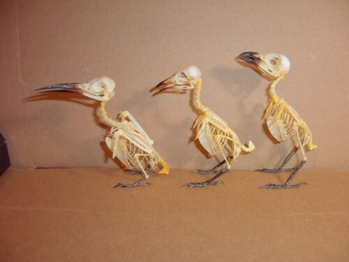 Bird Skeletons 3 Species Adults Full Skeletons in Standing Position display