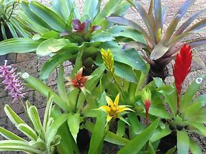 Bromeliads - IN FLOWER NOW! Terrigal Gosford Area Preview