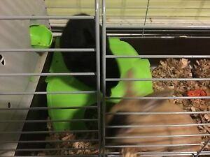 2 sister dwarf rabbits and cage