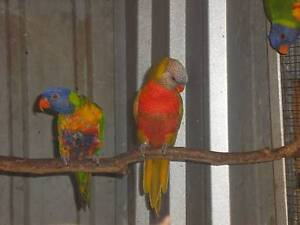 MALE MUSTARD RAINBOW LORIKEET Morphett Vale Morphett Vale Area Preview