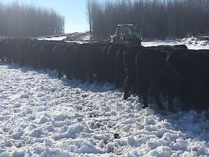 110 Black Angus Cows for sale