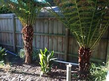 Tree Ferns x 2 for sale Bentleigh East Glen Eira Area Preview