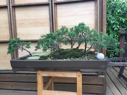Bonsai - Shimpaku Juniper (Forest style)