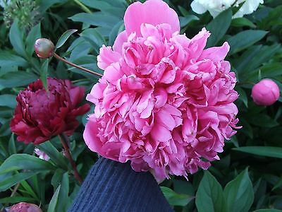 SET 3 Peony plants RED PINK WHITE: ONE OF EACH VARIETY. CUT BACK. FULLY HARDY