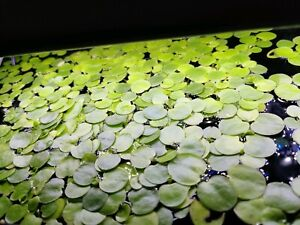 Frogbit - floating plant