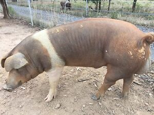 Duroc x Saddleback boar pig Windellama Goulburn City Preview