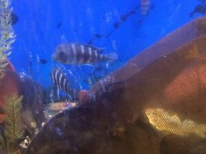 African Cichlids  Frontosa Kigoma 7 strips for sale