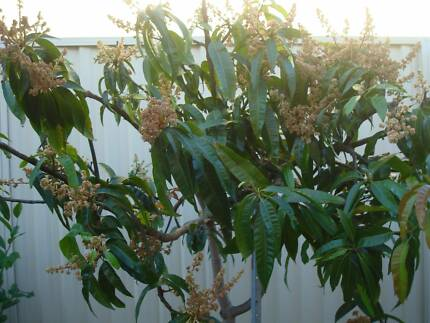 Fruit trees  Mature Mango  Tree