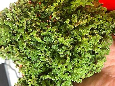 Azolla Floating Aquatic Moss Mosquito Fern KOI Pond Aquarium Organic Food 1 Cup