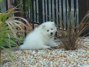 Japanese Spitz Puppies Karalee Ipswich City Preview