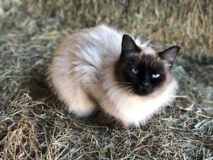 Female Siamese cat