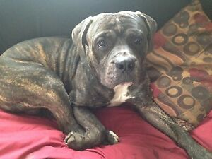 Bull Mastiff Needs Loving Home