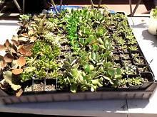 $1 -- Mixed Succulents $1 Per POT Wollongong 2500 Wollongong Area Preview