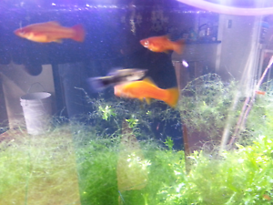 Swordtail Freshwater aquarium fish. Currumbin Waters Gold Coast South Preview
