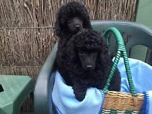 Poodle Toy 2 Black Males Patterson Lakes Kingston Area Preview