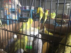 Beautiful English budgies Agnes Banks Penrith Area Preview