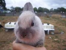 Purebred Iron Grey Netherland Dwarf Rabbit Doe For Sale. Bayswater Knox Area Preview