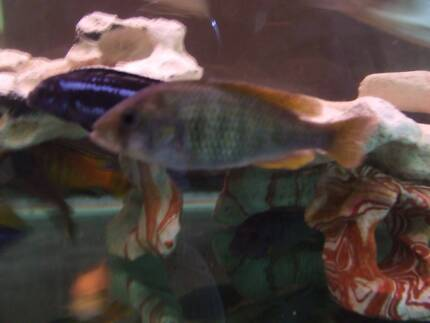 African cichlid Narre Warren South Casey Area Preview