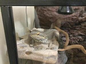 2 Bearded  dragon w/enclosure and stand $500neg Darling Heights Toowoomba City Preview