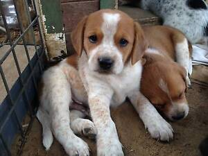 Beagle X Red Cattle Dog Puppies for Sale Gosford Gosford Area Preview