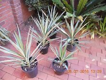 VARIEGATED YACCAS. Revesby Bankstown Area Preview
